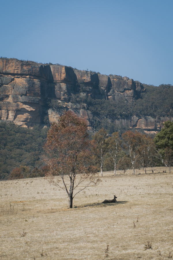 Wolgan Valley Kangaroo Blue Mountains